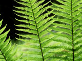 Ferns, Male, Scotland Photographic Print by Iain Sarjeant