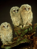 Tawny Owl, Young, UK Photographic Print by Les Stocker