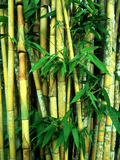 Bamboo, Sumatra Photographic Print by Mike Hill