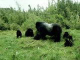 Mountain Gorilla, Berengei, Rwanda Fotografisk tryk af Steve Turner