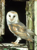 Barn Owl Perched in Old Window Frame, South Yorks Photographic Print by Mark Hamblin