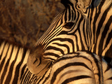 Zebra, Namibia Photographic Print by Olaf Broders