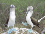 Blue Footed Booby, Elaborate Courtship Dance, Galapagos Reproduction photographique par Mark Jones
