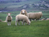 Sheep in Field, Isle of Man, UK Photographic Print by Michele Burgess