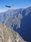 Andean Condor, Juvenile Male in Flight on Morning Thermals, Colca Canyon, Southern Peru Reproduction photographique par Mark Jones