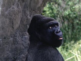 Gorilla, Franklin Park Zoo, Boston Photographic Print by Harold Wilion
