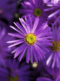 "Aster Frikartii ""Monch"" Close-up of Purple Flower with Due Photographie par Lynn Keddie"