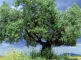 Olive Trees, Andalucia, Spain Photographic Print by Mike Slater