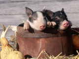 Mixed-Breed Piglets in a Barrel Photographic Print by Lynn M. Stone