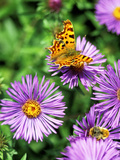 Butterfly on Aster Novae Angliae, September Photographic Print by Lynn Keddie
