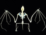 Bat Skeleton Photographic Print by David M. Dennis