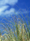 Dune Grass, Florida Keys Photographic Print by Lauree Feldman