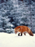 Red Fox in Snowy Woods Photographic Print by John Luke