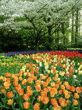 Tulipa (Tulips) Planted En Masse Below Prunus (Cherry) Tree in Blossom, Holland Photographie par Mark Bolton