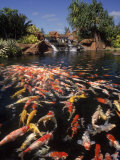Koi Pond at Hyatt Regency, Kauai, HI Fotografisk tryk af Michele Burgess
