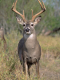 White-Tailed Deer, Odocoileus Virginianus Photographic Print by Amy And Chuck Wiley/wales