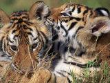 Two Bengal Tiger Cubs Bonding Reprodukcja zdjęcia autor Don Grall