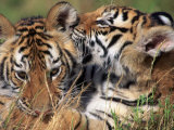 Two Bengal Tiger Cubs Bonding Photographic Print by Don Grall