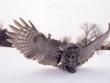 Great Gray Owl, Rowley, MA Photographic Print by Harold Wilion