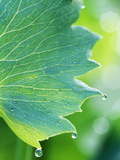 Water Droplets on Leaf Photographic Print by Lynn Keddie