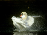 Mute Swan, Cygnus Olor Bathing Showing Water Spray Notts Photographic Print by Mark Hamblin