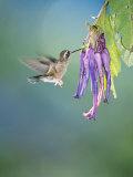Speckled Hummingbird, West Slope Cloud Forest, Ecuador Papier Photo par Mark Jones