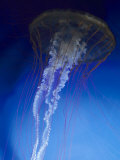 Jellyfish Photographic Print by Harold Wilion