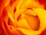 "Rosa ""Dicobey"" (Rosa ""Tequila Sunrise"") Photographic Print by Lynn Keddie"
