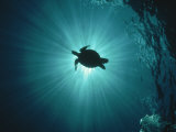 Silhouette of Underwater Sea Turtle from Beneath Fotografisk tryk af Erik Stein