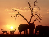 African Elephant, with Impala at Waterhole at Sunset, Botswana Fotografisk tryk af Richard Packwood