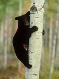 Black Bearursus Americanuscub Sat up Tree, Autumn Foliage Reproduction photographique par Mark Hamblin