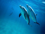 Atlantic Spotted Dolphins, Bimini, Bahamas Photographic Print by Tobias Bernhard