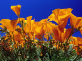 Poppies, CA Photographic Print by David Carriere