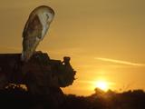 Barn Owl, Tyto Alba Asleep at Sunset Fotoprint van Mark Hamblin