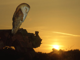 Barn Owl, Tyto Alba Asleep at Sunset Photographic Print by Mark Hamblin