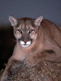 Mountain Lion on Rock, Felis Concolor Photographie par D. Robert Franz