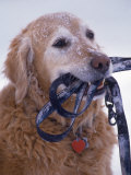 Golden Retriever with Leash in Mouth Photographic Print by Bob Winsett