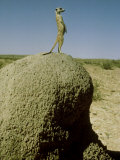 Meerkat, Guard Looking, Kalahari Photographic Print by David Macdonald