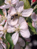 Bee on Apple Blossoms Photographic Print by John Luke