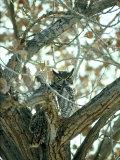 Stan Osolinski - Great Horned Owl in Tree, NM Fotografická reprodukce