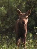 Baby Moose, Grand Teton National Park, WY Fotografisk tryk af Frank Staub