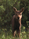 Baby Moose, Grand Teton National Park, WY Photographic Print by Frank Staub