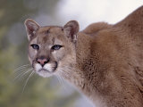 Puma Photographic Print by Ernest Manewal