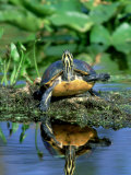 Florida Redbelly Turtle, Sunning, USA Photographic Print by Stan Osolinski