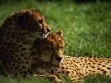 Cheetahs Photographic Print by Mitch Diamond