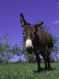 Donkey Photographic Print by Lynn M. Stone