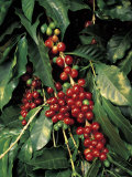 Coffee Beans on Tree, Costa Rica Fotografie-Druck von Inga Spence