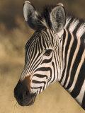 Burchells Zebra, Close-up Portrait, Botswana (August) Reprodukcja zdjęcia autor Mark Hamblin