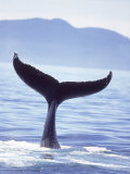 Humpback Whale&#39;s Tail Going Into the Water Photographic Print by Stuart Westmorland