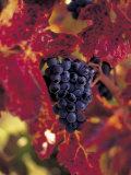 Grapes Ready for Harvest, Napa Valley, CA Photographic Print by Robert Houser